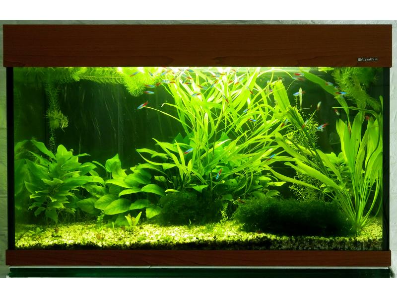 Гигрофилы в  аквариуме с неонами