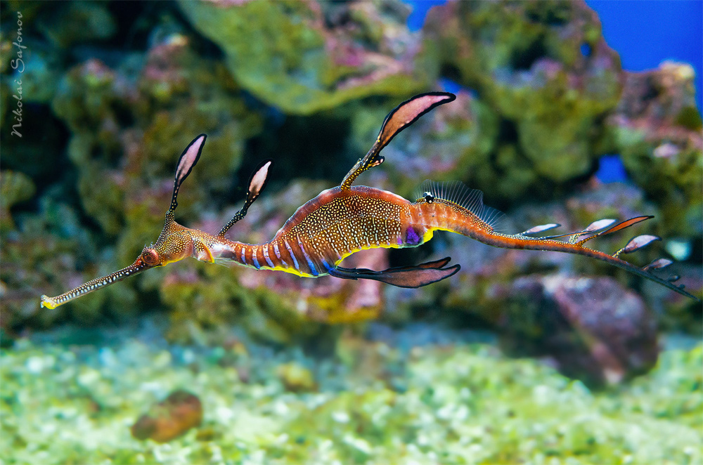 Phyllopteryx taeniolatus морской дракон